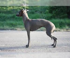 Small #1 Breed Italian Greyhound image