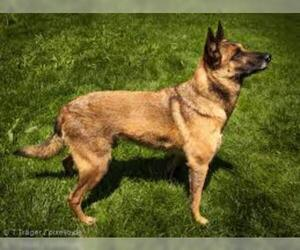 Small #1 Breed Belgian Malinois image