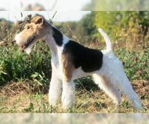 Small Photo #7 Wire Fox Terrier Dog Breed
