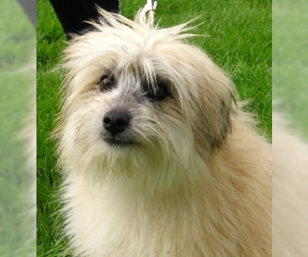 Image of Pyrenean Shepherd Breed
