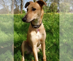 Image of Lurcher breed