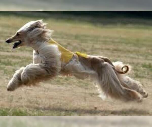 Medium Photo #20 Afghan Hound Dog Breed