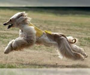 Small #19 Breed Afghan Hound image