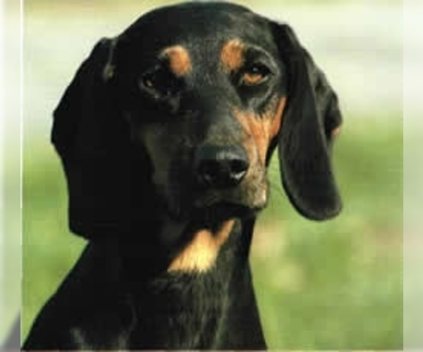 Image of Black Forest Hound Breed