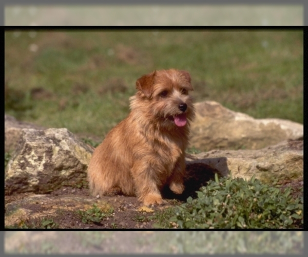 Image of Norfolk Terrier Breed