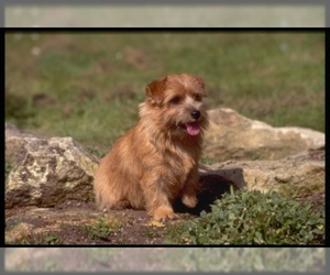 Samll image of Norfolk Terrier