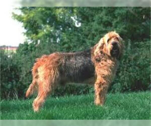 Medium Photo #3 Otterhound Dog Breed