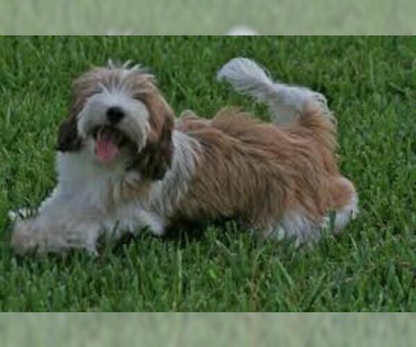 Medium Photo #4 Tibetan Terrier Dog Breed
