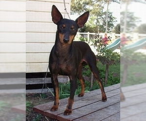 Image of English Toy Terrier breed