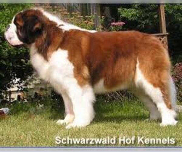 Medium Photo #4 Saint Bernard Dog Breed