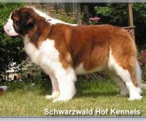 Small #3 Breed Saint Bernard image