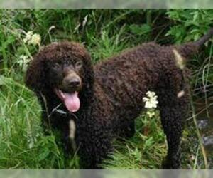 Small #2 Breed Irish Water Spaniel image