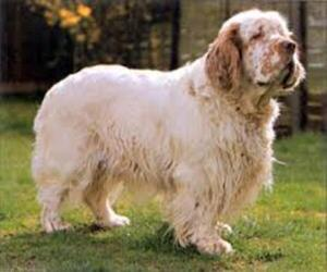 Small #3 Breed Clumber Spaniel image
