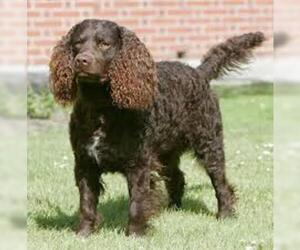 Small #1 Breed Irish Water Spaniel image