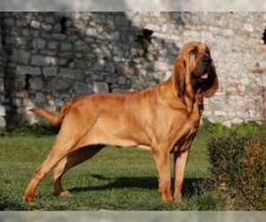Small #2 Breed Bloodhound image