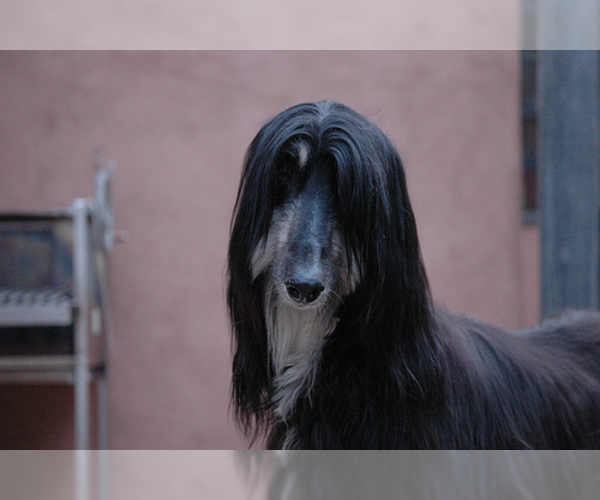 Medium Photo #9 Afghan Hound Dog Breed
