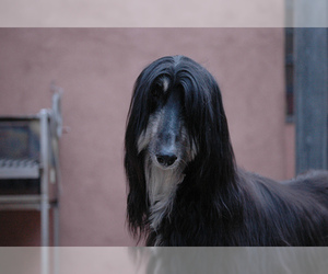 Small Photo #9 Afghan Hound Dog Breed