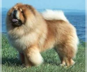 Small #5 Breed Chow Chow image