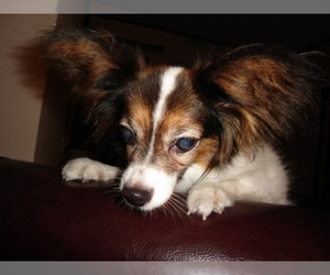 Chihuahua Papillon Mix For Sale