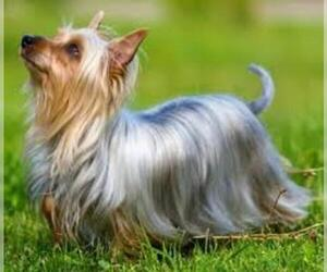 Small #6 Breed Silky Terrier image