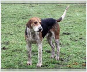 Small #2 Breed English Foxhound image