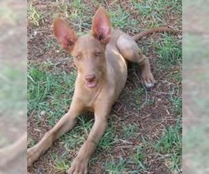 Small #6 Breed Pharaoh Hound image