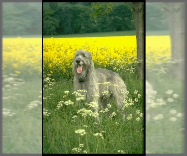 Image of Irish Wolfhound Breed