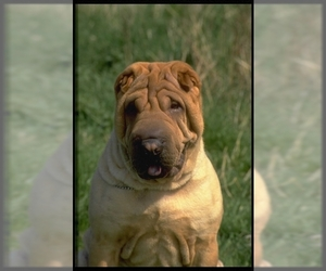 Image of Chinese Shar-Pei Breed