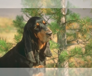Samll image of Black and Tan Coonhound