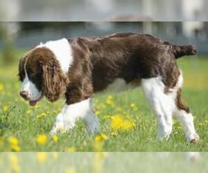 Small #4 Breed English Springer Spaniel image
