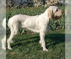 Small #3 Breed Spinone Italiano image