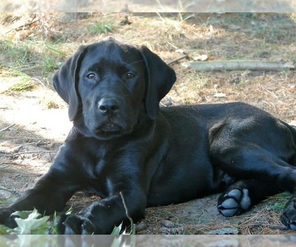 Image of Mastador Breed