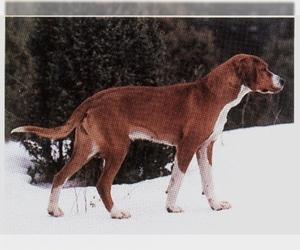 Image of Gotland Hound breed