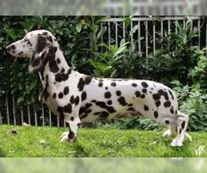 Small #1 Breed Dalmatian image