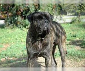 Small Photo #5 Mastiff Dog Breed