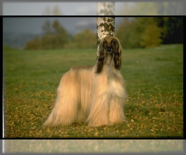 Medium Photo #2 Afghan Hound Dog Breed
