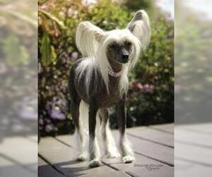 Small #4 Breed Chinese Crested image