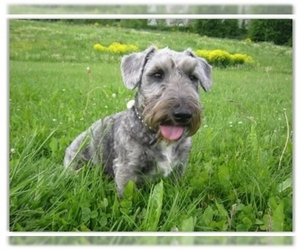 Image of Cesky Terrier breed