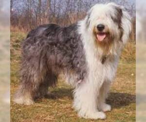Small #5 Breed Old English Sheepdog image