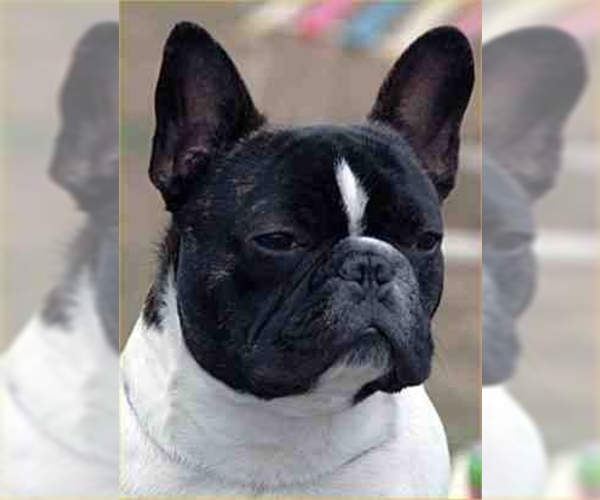 Image of French Bulldog Breed