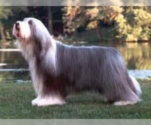 Small #2 Breed Bearded Collie image