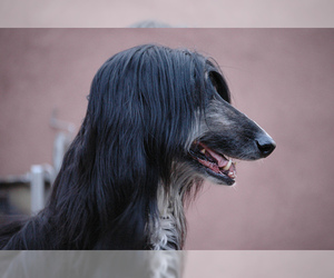Small Photo #7 Afghan Hound Dog Breed