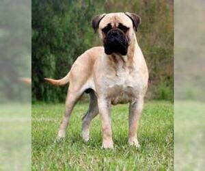 Small #7 Breed Bullmastiff image