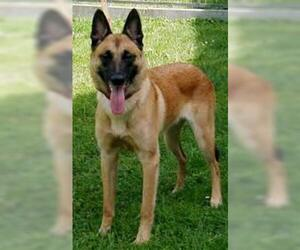 Small #6 Breed Belgian Malinois image