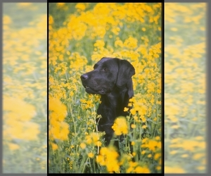 Small #1 Breed Labrador Retriever image