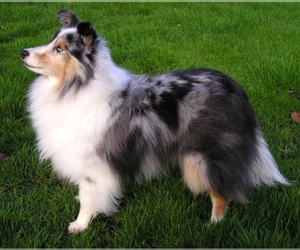 Image of breed Shetland Sheepdog