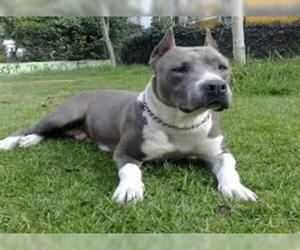 Small #3 Breed American Staffordshire Terrier image