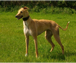 Image of American Staghound breed