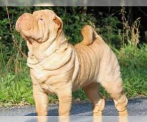 Small Photo #2 Chinese Shar-Pei Dog Breed