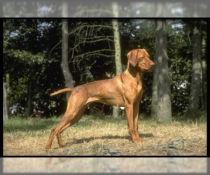 Image of breed Vizsla